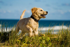 Le chiot sautant sur la plage Photo stock