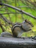 Le Chipmunk mange les graines Image libre de droits