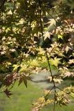 Le ` Chishio de palmatum d'Acer a amélioré le ` Photo libre de droits