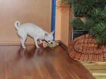 Le chiwawa célèbre Noël et joue avec leur nouveau cadeau image libre de droits