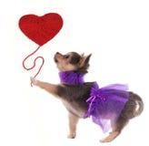 Le chiwawa romantique retenant le coeur rouge aiment le baloon Image stock
