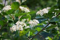 Le chokeberry noir fleurit melanocarpa d'Aronia dans le jardin image libre de droits
