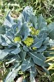Le chou-fleur se développe dans le jardin Image libre de droits