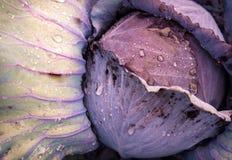 Le chou rouge, chou pourpre, chou rouge est utilisation pour des salades, fond de nature Image libre de droits