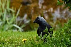 Le choucas occidental, monedula de Corvus se repose sur l'herbe images libres de droits