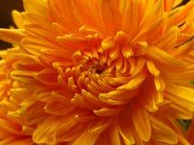 Le chrysanthème fleurit le bouquet Belle fleur jaune orange de jardin d'automne Fermez-vous vers le haut de la vue photo libre de droits