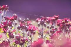 Le chrysanthème fleurit dans un matin ensoleillé d'automne sous des fils de toile d'araignées Photos libres de droits