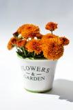 Le chrysanthème fleurit dans un pot décoratif sur un fond blanc Photographie stock libre de droits