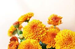 Le chrysanthème fleurit le fond Image stock