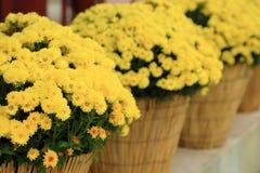 Le chrysanthème jaune fleurit dans le pot de fleurs, perspective arrangent Images stock