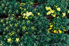 Le chrysanthème là sont beaucoup de coloré et il différera dans la taille de petit à de grande taille photo libre de droits