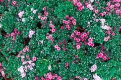 Le chrysanthème là sont un grand choix de couleurs et il variera de petit Taille de fleur à grand images libres de droits