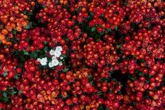Le chrysanthème ressemblera aux bordures de limbe dentelées et effiler le doux part et doux à travers la feuille est vert, il reg images libres de droits