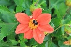 Le chrysanthème rouge invite des amis à la boule Fleurs de chrysanthème sur le fond d'isolement image stock