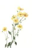 Le chrysanthemum jaune fleurit la peinture d'aquarelle Photos stock