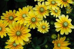 Le chrysanthemum jaune fleurit le fond Photos libres de droits