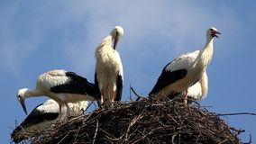 Le cicogne annidano su un Palo, incastramento della famiglia di uccelli, stormo delle cicogne in cielo, vista della natura stock footage