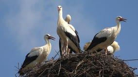 Le cicogne annidano su un Palo, incastramento della famiglia di uccelli, stormo delle cicogne in cielo, vista della natura video d archivio
