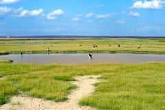 Le cicogne bianche mangiano nel lago. Immagini Stock