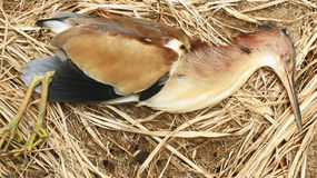 Le cicogne muoiono su terra Fotografia Stock