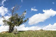 Le ciel bleu d'accroc solitaire de pin opacifie le fond Image stock