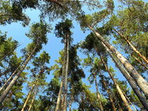 Le ciel dans une forêt de pin photographie stock libre de droits