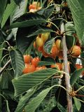 le ciliege mature deliziano gli occhi del giardino Fotografia Stock Libera da Diritti