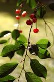 Le ciliege nel ramo del giardino lascia il verde dolce fotografia stock libera da diritti