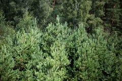 Le cime degli alberi Fotografia Stock Libera da Diritti