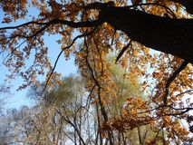 Le cime degli alberi con le belle foglie marroni su un fondo di cielo blu Fotografia Stock