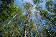 Le cime degli alberi nella foresta immagini stock libere da diritti