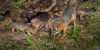 Le cinereoargenteus de Grey Fox Vixen et d'Urocyon de kits examinent le rondin Photo stock