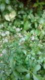 Le cinereum de Cyanthillium fleurit, herbe de Saint-Jacques, cinereum de Vernonia Photo stock