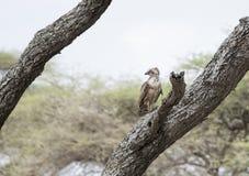 Le cinereus de Circaetus de Brown Serpent-Eagle était perché dans un vieil arbre Photo libre de droits