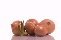 Le cipolle germogliate Fotografie Stock