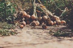 Le cipolle organiche si sono riunite all'azienda agricola ecologica su legno rustico Fotografia Stock