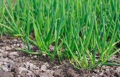 Le cipolle verdi della sorgente sono i germogli immagini stock libere da diritti