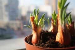 Le cipolle verdi ed i piccoli germogli dell'aneto si sviluppano in un vaso marrone sul davanzale della finestra immagini stock