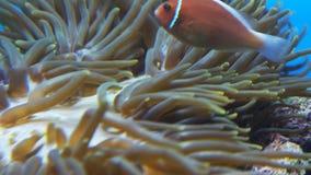 Le clownfish rose nage parmi des tentacules banque de vidéos