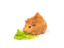Le cobaye mange de la salade Image stock