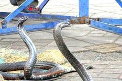 Le cobra egiziane (haje del Naja) hanno incantato al quadrato di EL Fna di Djemaa, Marrakesh, Marocco Fotografie Stock Libere da Diritti
