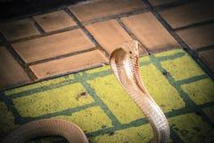 Le cobra a répandu le capot image stock