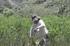 Le coca mûr de tractions de travailleur cesse un arbre pendant une récolte sur les collines de la lessive Yungas image libre de droits