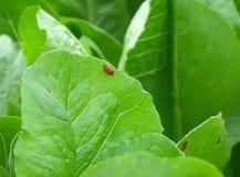 Le coccinelle rosse coppia la fabbricazione dell'amore sulla foglia verde vibrante Immagine Stock