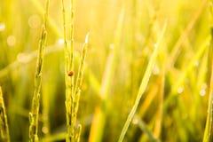 Le coccinelle stanno distruggendo l'azienda agricola del riso del gelsomino Fotografia Stock Libera da Diritti