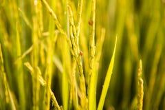Le coccinelle stanno distruggendo l'azienda agricola del riso del gelsomino Immagine Stock Libera da Diritti
