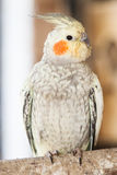 Le cockatiel (hollandicus de Nymphicus) Image libre de droits