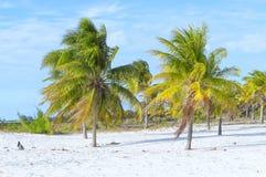 Le cocotier se tient brillamment dans la perspective d'un clo Images libres de droits