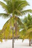 Le cocotier se tient brillamment dans la perspective d'un clo Photo libre de droits