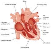 Le coeur illustration libre de droits